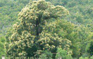 La  Souche : châtaignier en fleurs