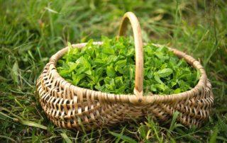 Chirols - Plantes médicinales (Simples et Sauvages)