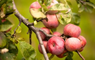 Barnas - Pommes ©S.BUGNON