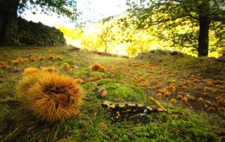 La Souche - Châtaignes et salamandre ©S.BUGNON